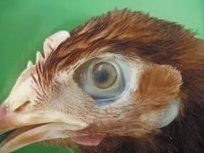 ✅ у курицы закрылся глаз что делать - питомник46.рф