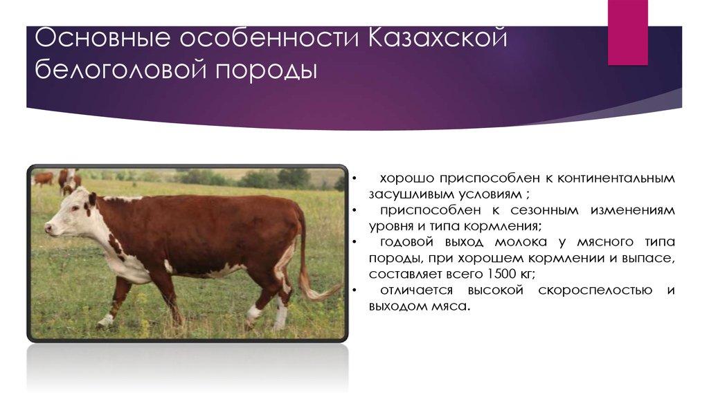 Что собой представляет казахская белоголовая порода крс