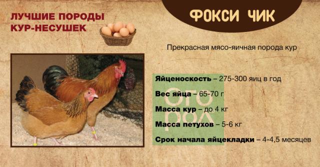 Особенности кубанской красной породы кур