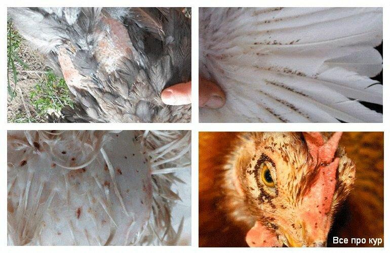 ✅ о борьбе с куриным, перьевым клещом (как избавиться, вывести, чем обработать)